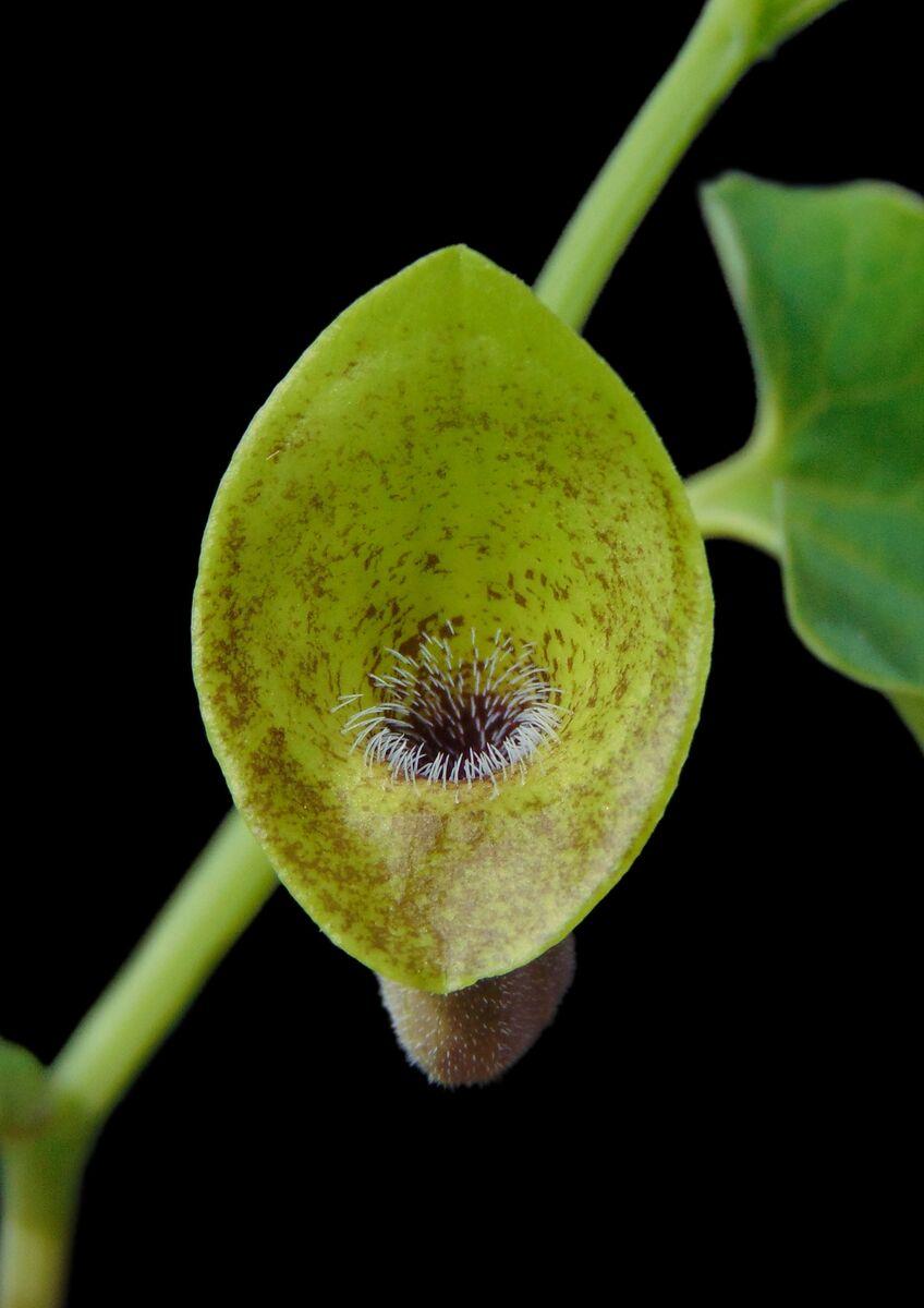 Aristolochia iberica.JPG