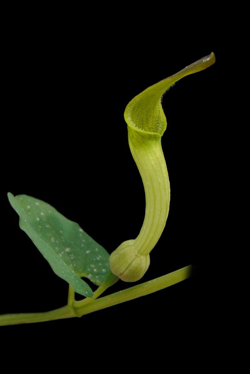 Aristolochia navicularis.JPG