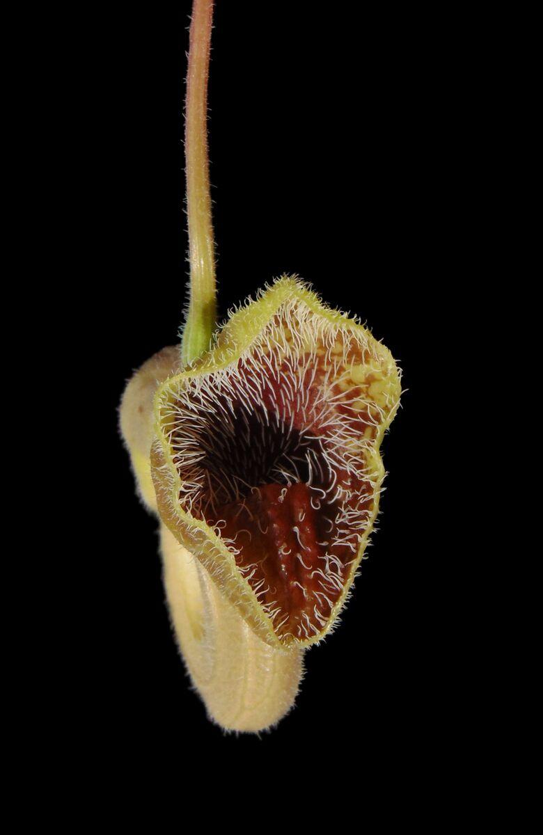 Aristolochia hirta.JPG