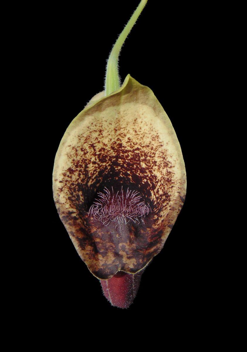 Aristolochia pontica.JPG