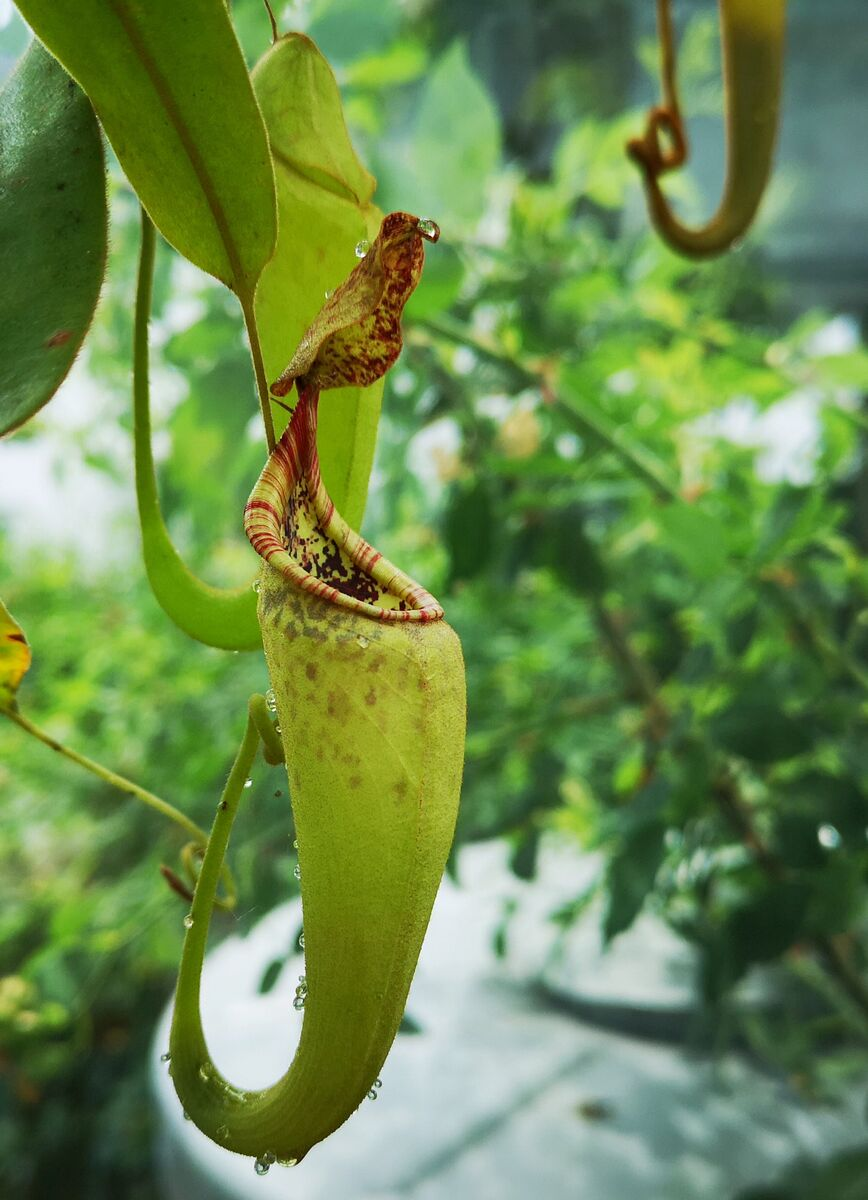 Nepenthes_maxima_070618_1.jpg
