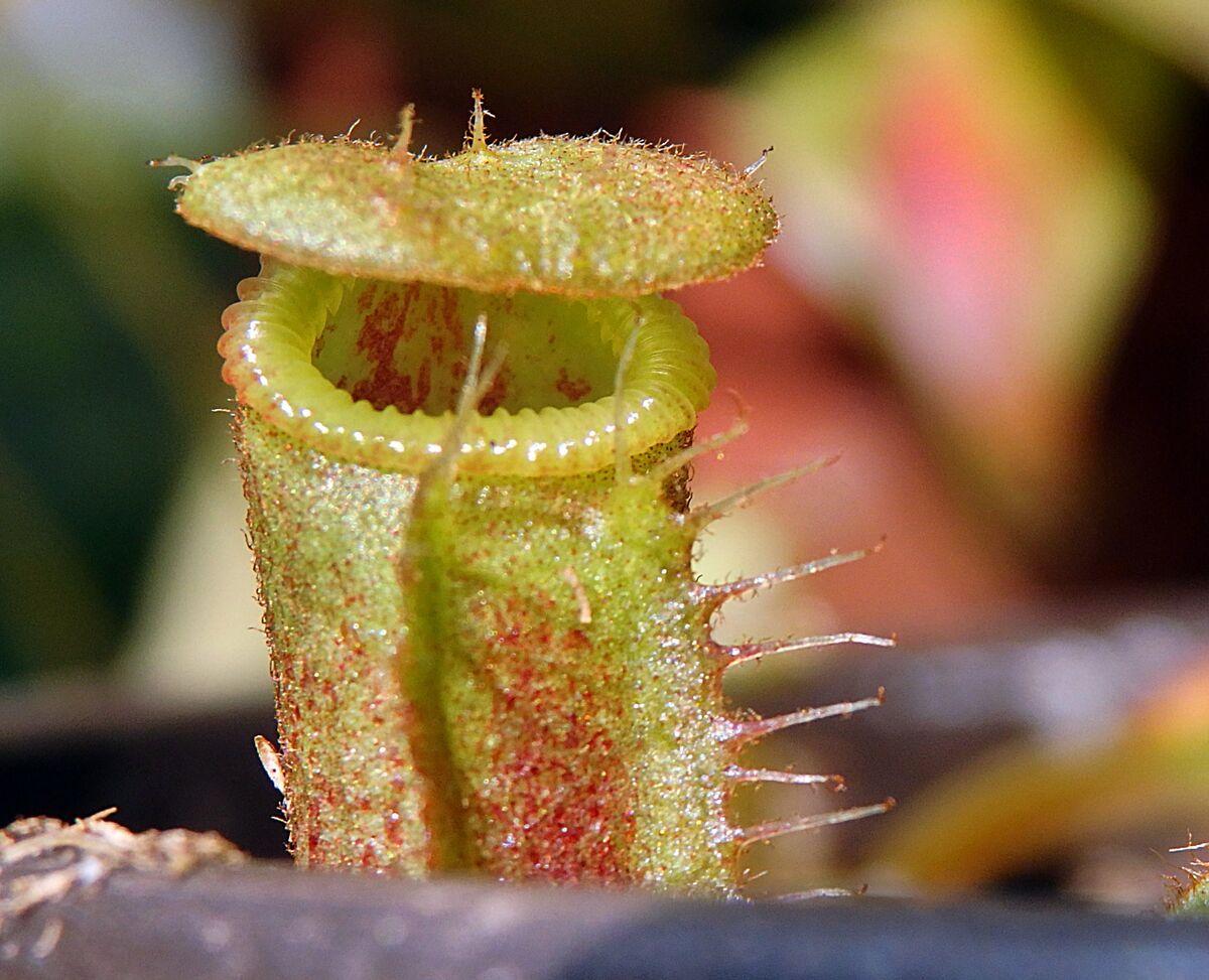 Nepenthes_veitchiiXedwardsiana_3_200419.thumb.JPG.2d6e97f63792961344198faf23f73f5e.JPG