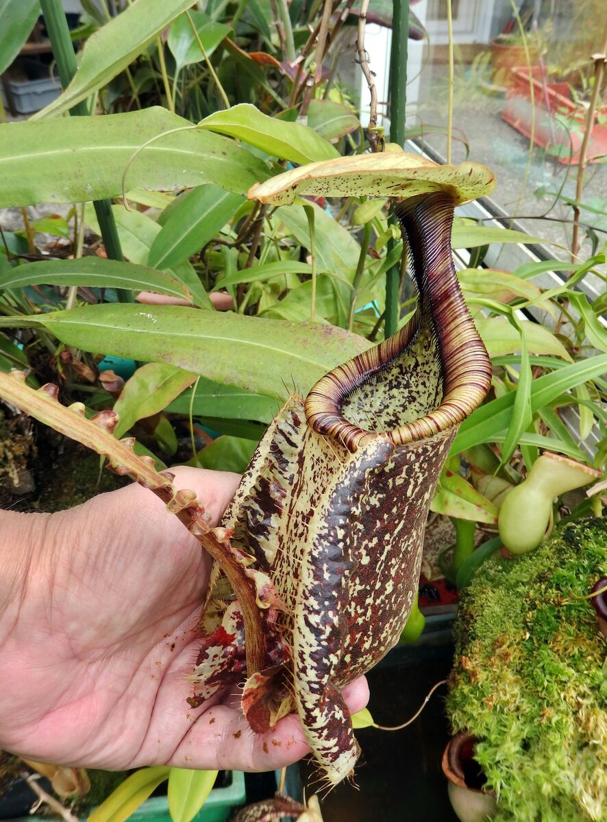 Nepenthes_rafflesiana_var-alata_150519.JPG