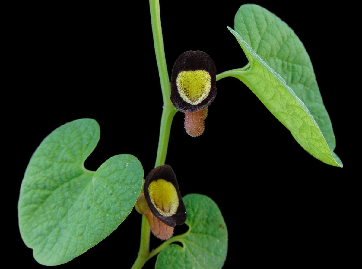 Aristolochia steupii (12).JPG