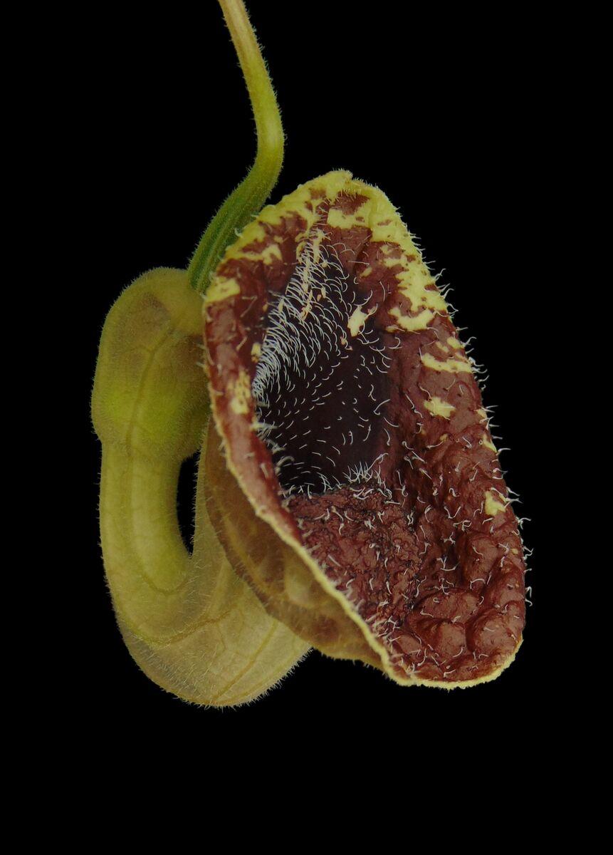 Aristolochia bodamae (3).JPG