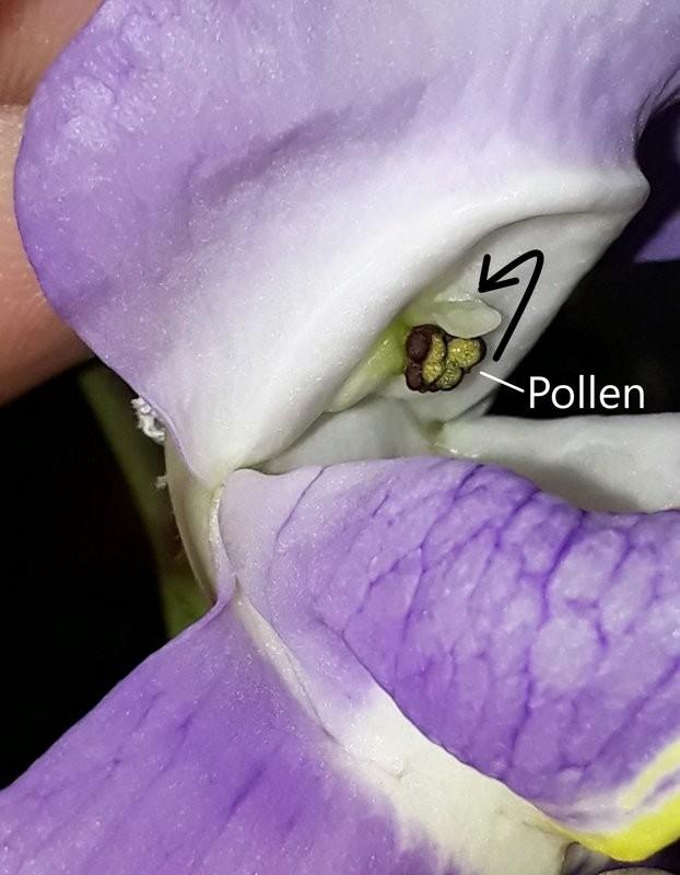_Pollen_Stigma_beschriftet.jpg.bc38bde84ee586d1f7e6c252191e739e.jpg
