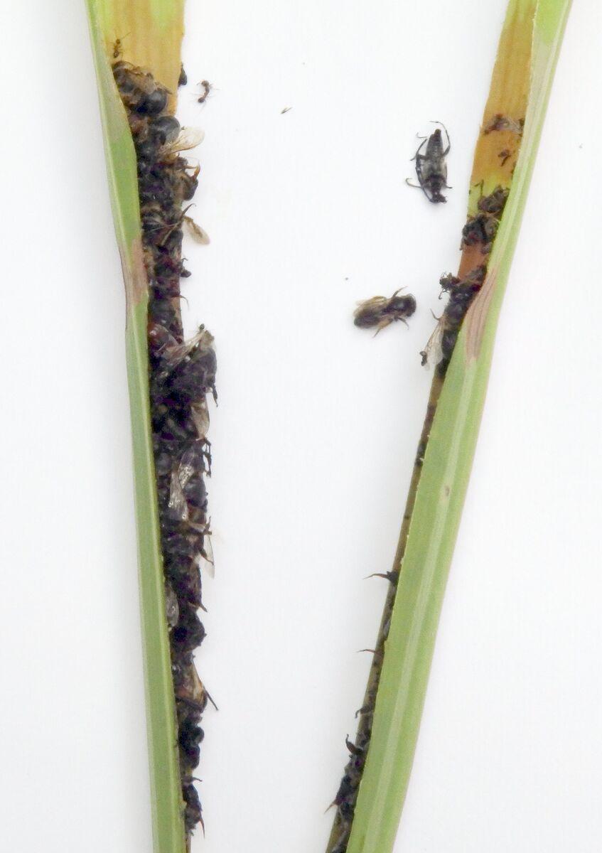 Sarracenia_leucophylla_Schnitt-beide_190622.JPG