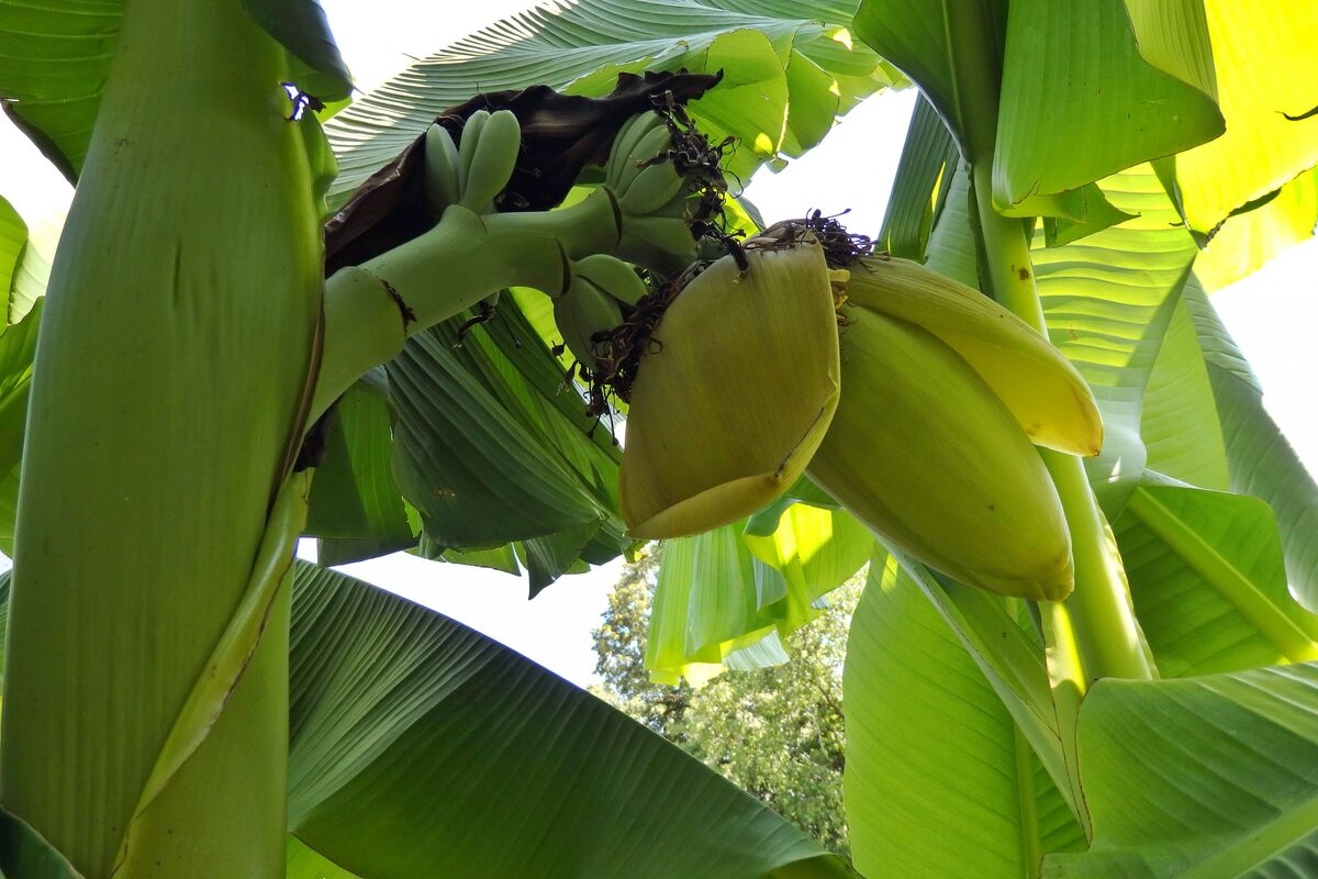 Bananen_3_240719.JPG