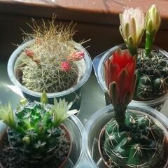 Verirrter Kaktus