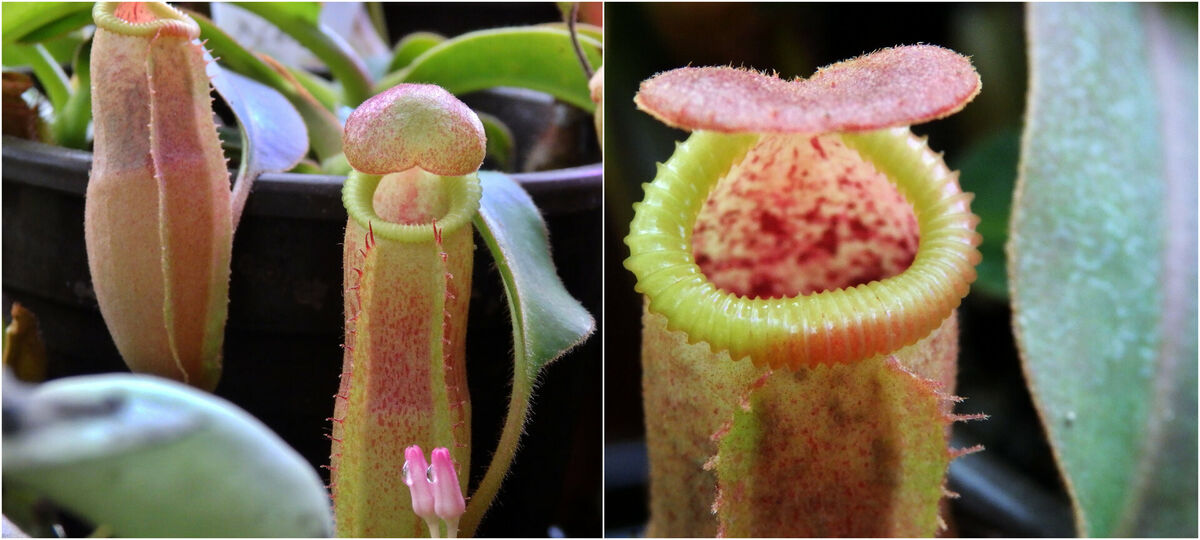 Nepenthes_veitchiiXedwardsiana-Collage_bk.thumb.jpg.361a5df41a27257ebef6835cf951091f.jpg