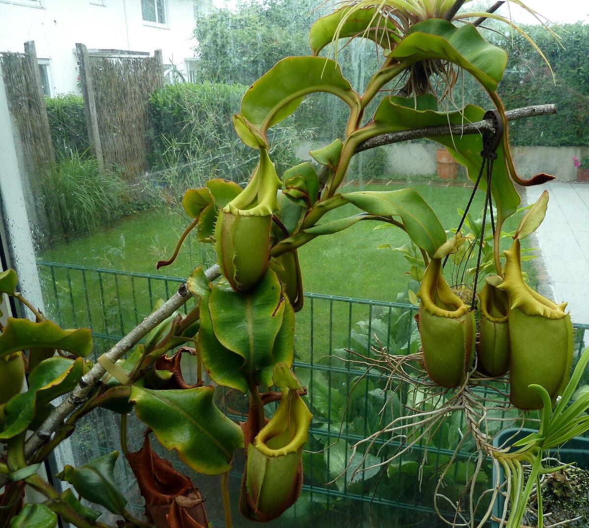 Nepenthes_veitchii_100714_1.thumb.jpg.45b5e6a591436e9030de98a112afdadc.jpg