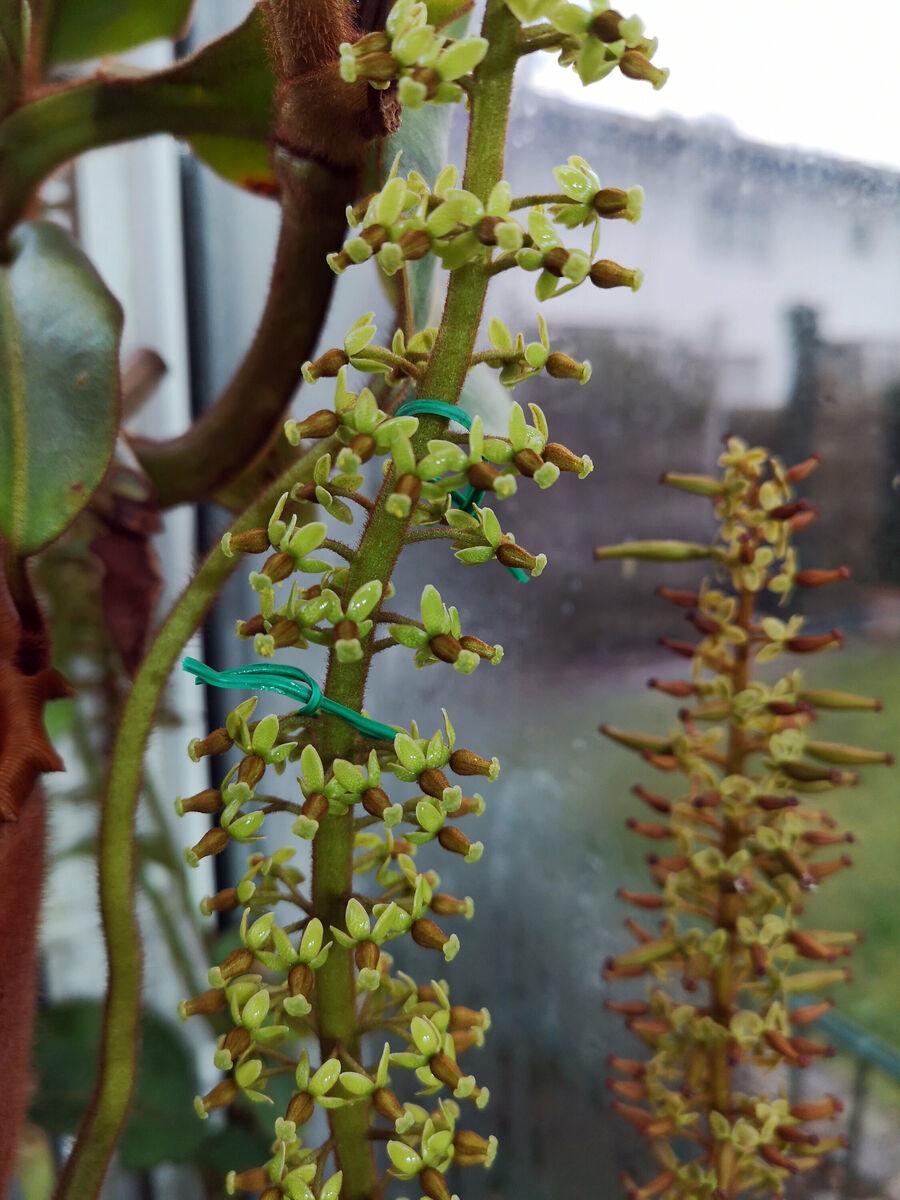 Nepenthes_veitchii_Best-mit_lowiiXephippiata_1_131218.thumb.jpg.8293806bbd3f505c14bdad34754bd0ab.jpg