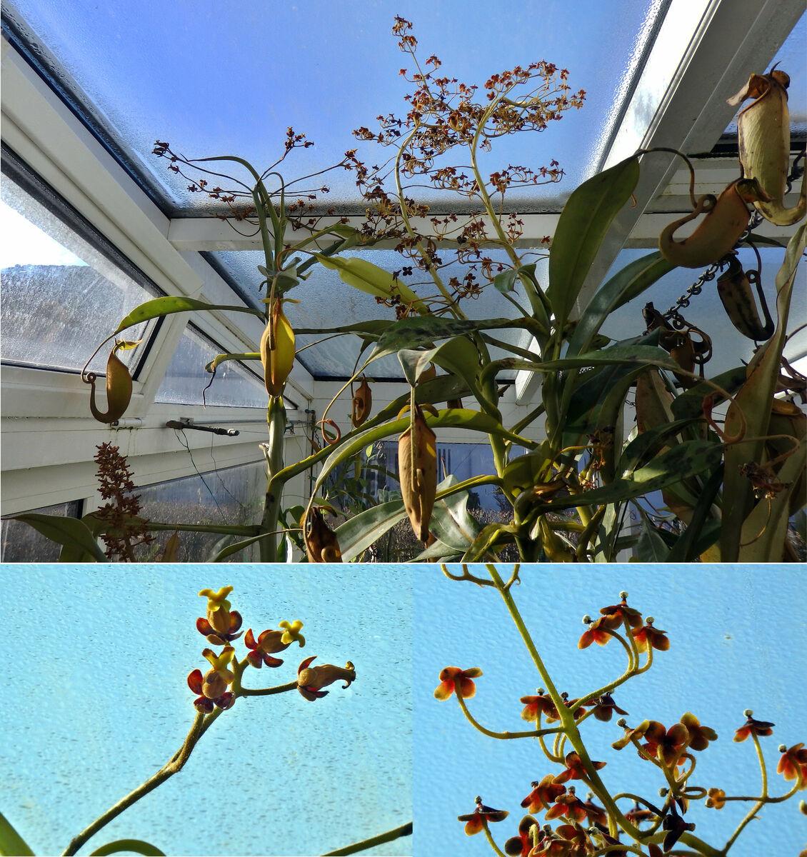 Nepenthes_bicalcarata_Paar_Collage-full_160120.thumb.jpg.22418c3437b1ec28fa3ca153bfb1217b.jpg