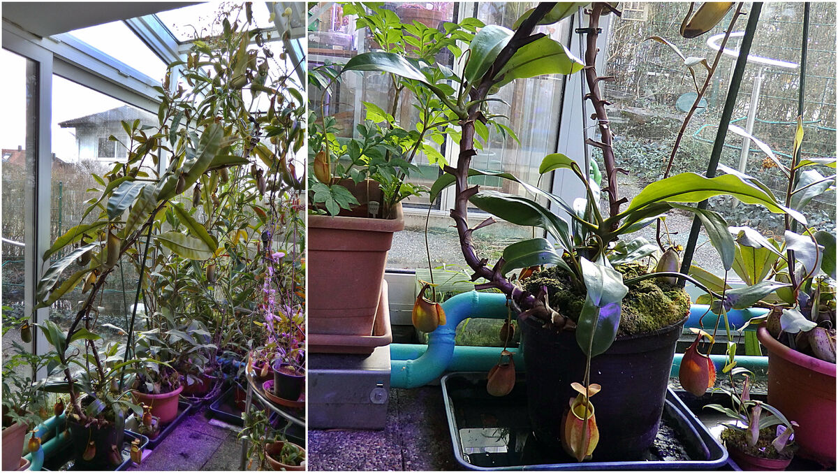 Nepenthes_bicalcarata_Paar_Collage-full_180120.thumb.jpg.8ff750ed720c05764b0d7047734dacbb.jpg