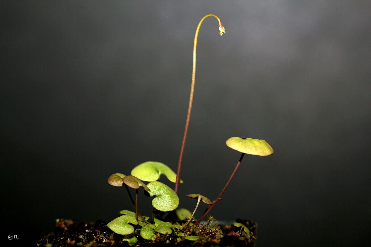 Utricularia neprophylla x geminiloba 01.jpg