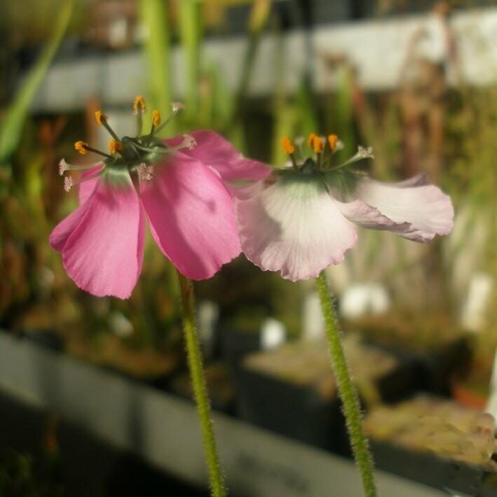 Dpaucifloralargeflower3p.jpg.a80a2f8228e4329953b240846874cc8c.jpg