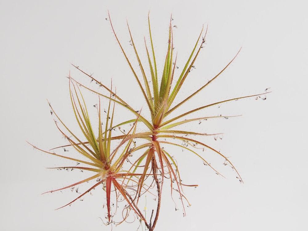 roridula.gorgonias.04.27.19.1.jpg