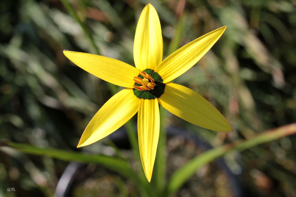 Pauridia capensis03.jpg