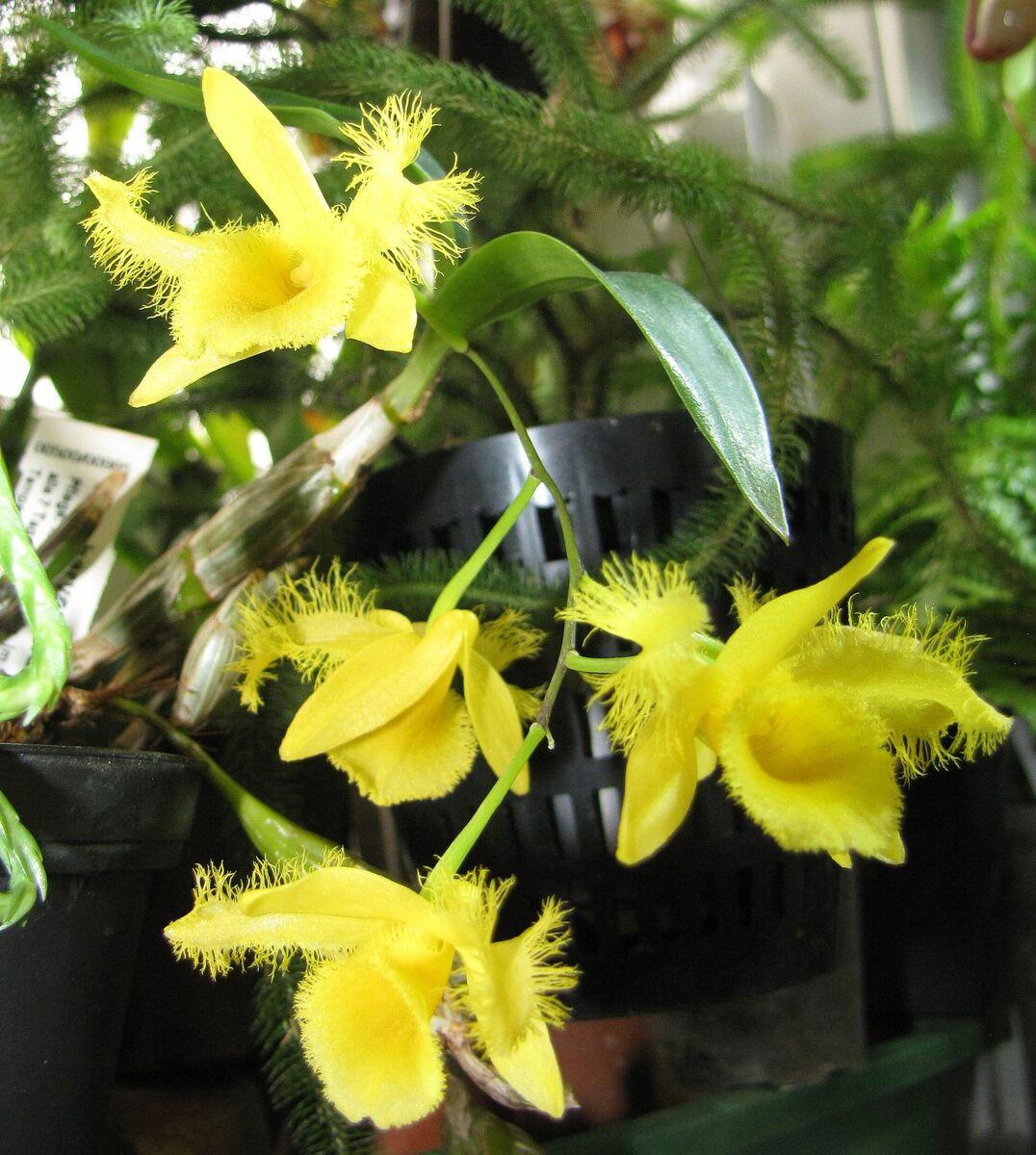 520436108_Dendrobiumharveyanum.thumb.jpg.0bba47aec18ca78bb9cafbb47feca272.jpg
