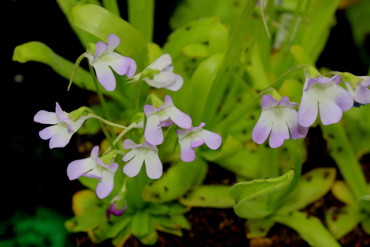 P_vallisneriifolia_Cazorla_0002p.JPG.57b681951ece1dbc8d5511144c13f7cf.JPG