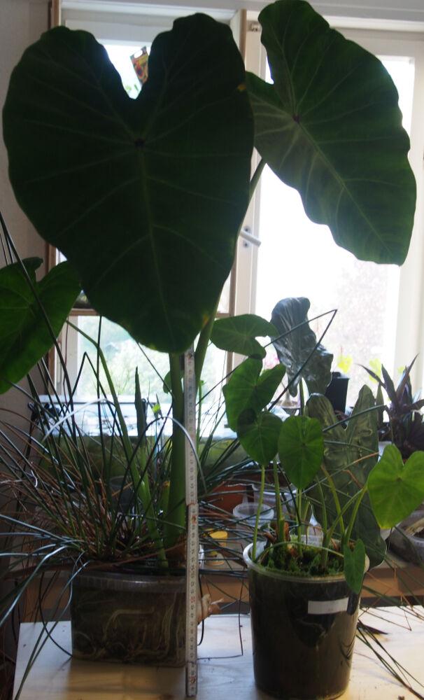colocasia.esculenta_2020_04_21.1.jpg.c06351e5fa1294c4dec86cf718b82e8b.jpg