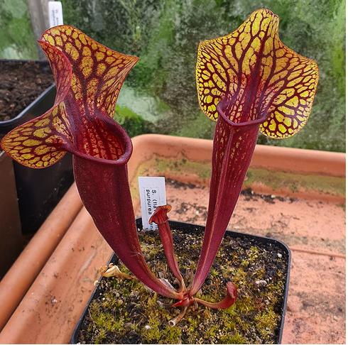Sarracenia purpurea.png